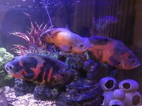 LARGE FISH for sale, Flowerhorn, 3 Oscar Cichlids, Gibbicep Plec