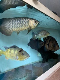 2 XINGU 1 KELBARI BASS . Priced to sell �0