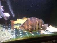 Big predators for sale platinum redtail,big dat, snakehead
