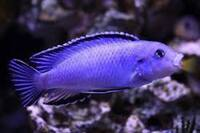 Wet Pets Solihull Have stunning Malawi Juvies for sale some rarer ones and a good size a must see li