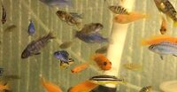 New list below for the 20 x 3-5 cm Mbuna for � or 10 of the fish listed below for just �.00.