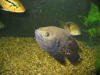 Severums and Oscars + Blue Acara for sale Somerset...