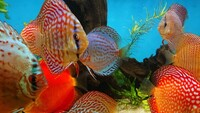 15 Stendker Discus for sale - can be sold as a group or individually.