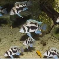Wet Pets Solihull - For sale x 5 Cyphotilapia black widow frontosa 7 to 9 cm