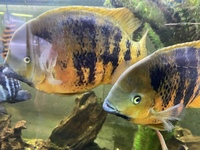 Breeding pair of bocourti