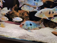 2x Geophagus Red Head Tapajos