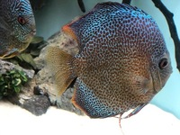 Discus - ALL FOR SALE