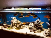 For sale mixed African cichlids