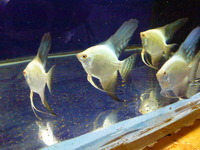 Bulgarian seal point angel fish