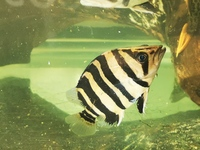 Datnoid tiger fish for sale/swap