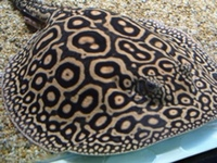 Female and male fresh water stingrays available for sale.