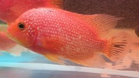 Faded Pearl Rose Queen Cichlid ( female ) �0