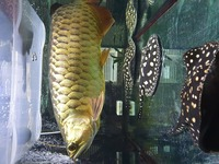 Super High Back Red Tailed Golden Asian Arowana SOLD PENDING COLLECTION