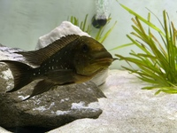 Petrochromis Trawavasae (Wild Caught) For Sale