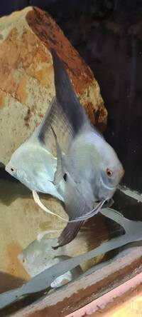 Bulgarian seal point angel fish,spawning pairs available