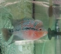 Male Flowerhorns High Grade Red & Blue Silk