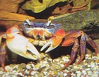 For sale Rainbow crabs (Cardisoma armatum)