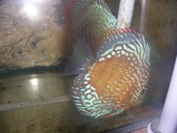 Discus For Sale breeding pairs available