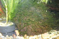 JAVA MOSS- GROWING ON COCONUT SHELL