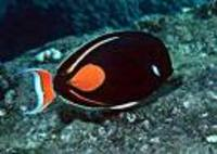Rare Achilles tang for sale