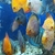 1000 of discus fish , CHESHIRE OAKS DISCUS LICENCED PET SHOP