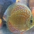 100 s of DISCUS @ CHESHIRE OAKS DISCUS PET SHOP, from �15. we only sell discus