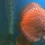 . DISCUS,,DISCUS,,DISCUS , TROPICAL FISH SALES. VIDEOS OF TODAYS STOCK ON YOUTUB