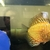 OVER 1000 BACK IN STOCK,, DISCUS,,DISCUS,,DISCUS , TROPICAL FISH SALES.,,CHESHIR